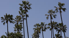 Beverly Hills, Palm Trees, Santa Monica BLVD, Sunset Boulevard, Los Angeles, USA Stock Footage