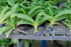 rhynchostylis gigantea seedling in black tray - stock photo