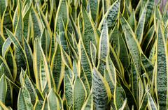 Sansevieria (mother-in-law's tongue) background Stock Photos