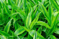Ribbon dracaena leaves background Stock Photos