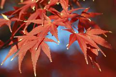 autumnal maple leafs - stock photo