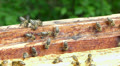 Bees flapping their wings to cool down temperature in the hive. HD Footage
