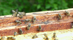 Bees flapping their wings to cool down temperature in the hive. Stock Footage