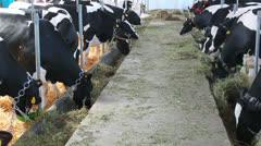 Fair livestock - stock footage