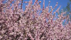 Flowering apricot tree, shaken wind 01 Stock Footage