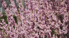 Flowering apricot tree, shaken wind 03 Stock Footage