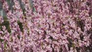 Flowering apricot tree, shaken wind 03 Stock Footage