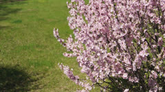 Flowering apricot bush, shaken wind - stock footage