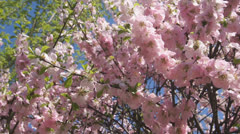 Flowering apricot tree 06 pan right Stock Footage