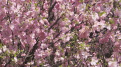 Flowering apricot tree 04 pan up Stock Footage