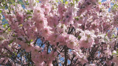 Flowering apricot tree 05 pan right Stock Footage