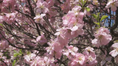 Flowering apricot tree 07 close up Stock Footage
