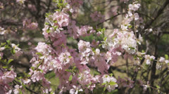 Flowering apricot tree 09 close up Stock Footage