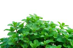 peppermint isolated on white background - stock photo