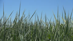 Tall Grass in the Breeze, Long Grass Swinging on a Windy Day, Bacgrounds - stock footage