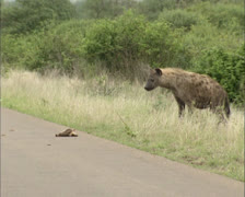 Spotted hyaena (crocuta crocuta) picking up a roadkill - take away food Stock Footage