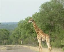 Giraffe (Giraffa camelopardalis)  crossing road in Africa Stock Footage
