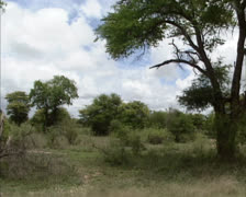 Arid woodland savanna in Krugerpark, South Africa - vehicle shot Stock Footage