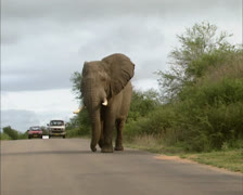 African elephant bull (loxodonta africana) crossing road Stock Footage