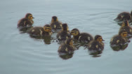 Stock Video Footage of Family of Ducks Searching for Food in a Pond, Ducklings Swimming on a Lake