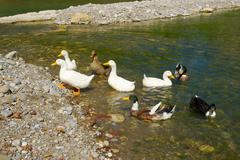 Geese and ducks Stock Photos