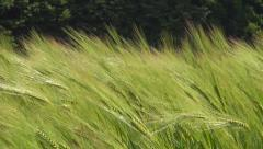 Close up Wheat in Breeze on a Windy Day, Agriculture Field, Harvesting, Farming Stock Footage