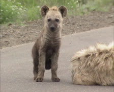 Spotted hyena (crocuta crocuta) pup next to adult on road Stock Footage
