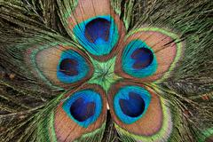 Peacock's feathers Stock Photos