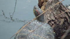 Zoom Out Coahuilan Red Eared Turtle Sunbathing on a Log in a Lake, Pond, Reptile Stock Footage