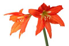 Orange lily in the rozsa drops Stock Photos