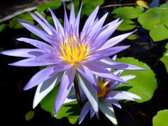 Purple water lily flower Stock Photos