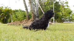 Shih Tzu black dog  resting on grass in park 1 slow motion 4 Stock Footage