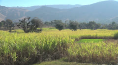 India Rajasthan Deogarh sugar cane field and grassy patch - stock footage