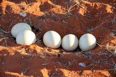 Five big ostrich eggs in nest - stock photo