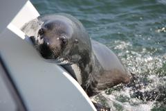 african fur seal entering a boat - stock photo
