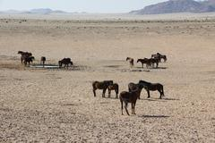 Namib desert horses in Namibia,Africa - stock photo