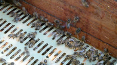 Bees inside the open hive. Stock Footage
