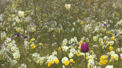 Pansies and Tulips on Meadow, Beautiful Flowers in Garden in Spring Stock Footage