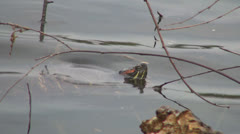 Coahuilan Red Eared Turtle Swimming in Pond, Lake, Animal in Natural Environment - stock footage