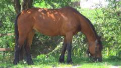Close up of a Brown Mountain Horse Grazing in Pasture, Wildlife in Countryside Stock Footage