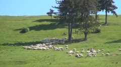 Herding Sheep in Mountains, Flock of Sheep Grazing Hill, Pastoral Landscape Stock Footage
