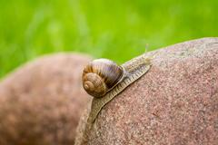Snail on a stone - stock photo