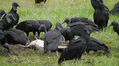 American Black Vultures Eating Roadkill Stock Footage