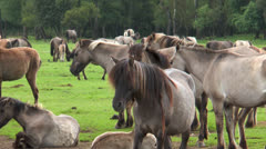 Closeup of wild living ponies Stock Footage