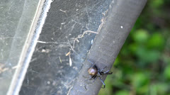 Black Widow Crawling on Camper Shell Stock Footage