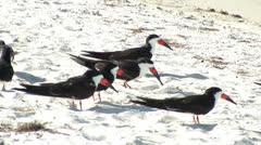 Black Skimmers on the beach Stock Footage