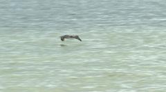 Pelican Skimming the ocean - stock footage