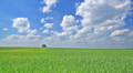 Wheat  on a wind  and blue sky. Beautiful landscape Footage
