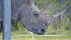 White rhino upclose Stock Footage