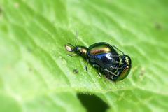 Dock leaf beetle - mating - stock photo